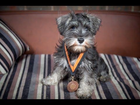 Gimli - Miniature Schnauzer Puppy - 2 Weeks Residential Dog Training