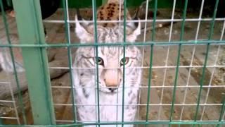Большие кошки,приколы про кошек) Самые большие кошечки) В МИРЕ))