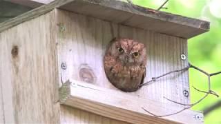 [4K] コノハズク(3)繁殖(鳥取県八頭町) - Eurasian Scops-owl - Wild Bird - 野鳥 動画図鑑
