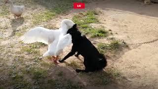 Эпичная драка гуся и собаки