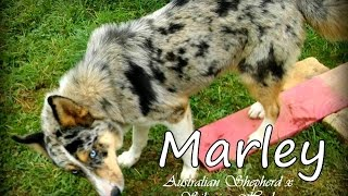 """because I'm Happy"" ♥ (marley - Australian Shepherd X Siberian Husky) ♥"