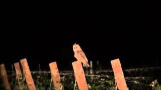 Mussol banyut (Asio otus) a les vinyes de l