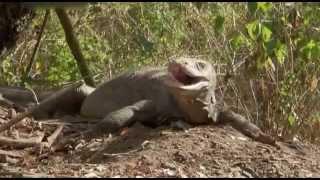 Komodowarane --- Die Killer Drachen (german Doku)