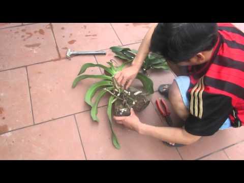 Cách ghép phong lan Đai Châu lên gỗ...