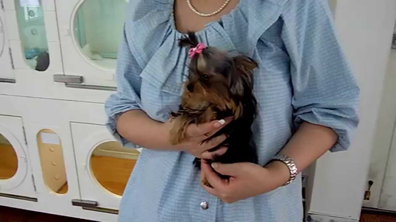 The Tiniest Yorkie Puppy Dog In The World A True Micro
