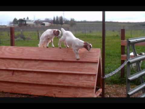 low cost baby goat shelter and play toy - youtube