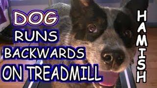 Dog Runs Backwards On Treadmill - Must See!!!!