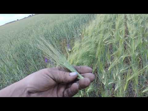 Урожай 2020🌾 Ячмень после ЗАСУХИ 🛠⚖