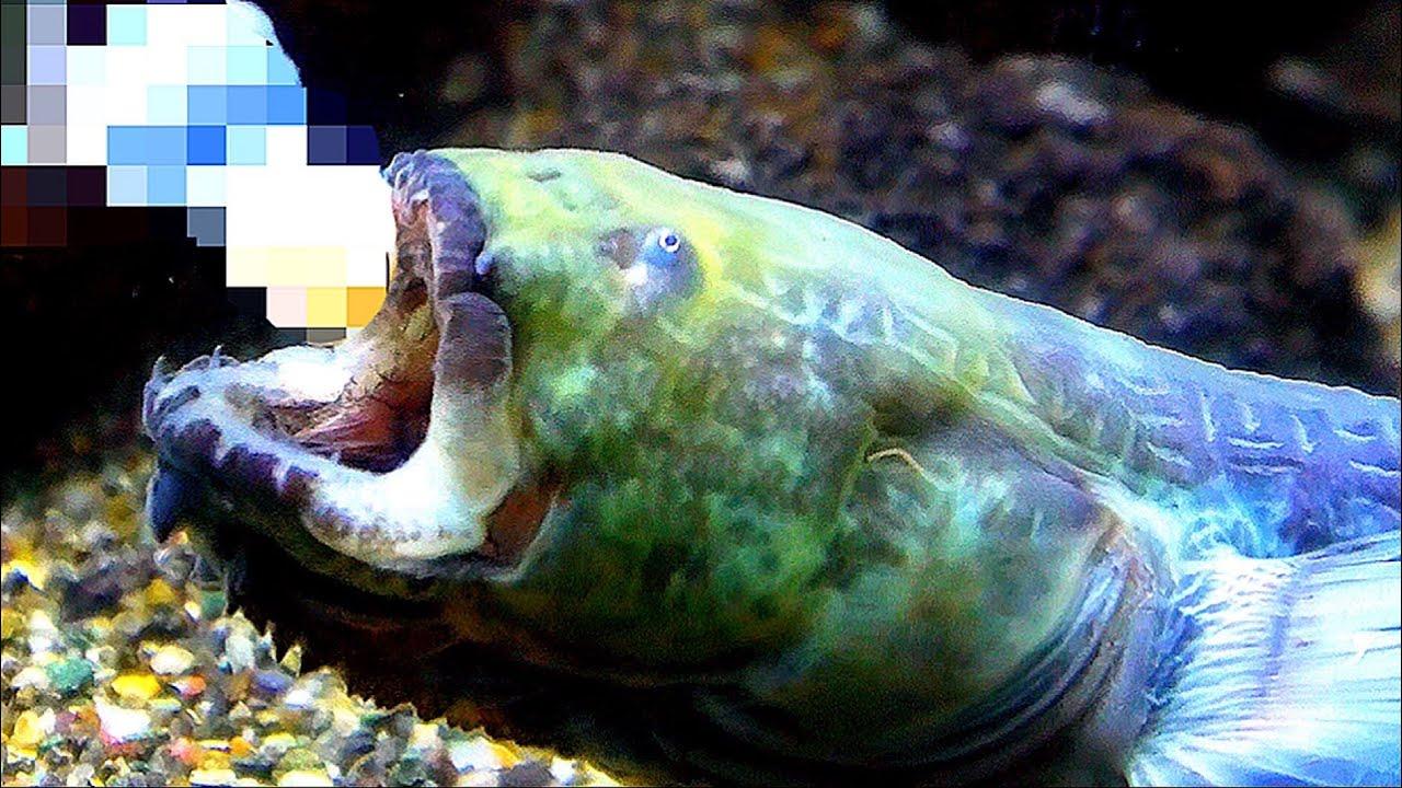 エイリアンみたいな魚にウシガエル与えてみた!【ワラスボ飼育】