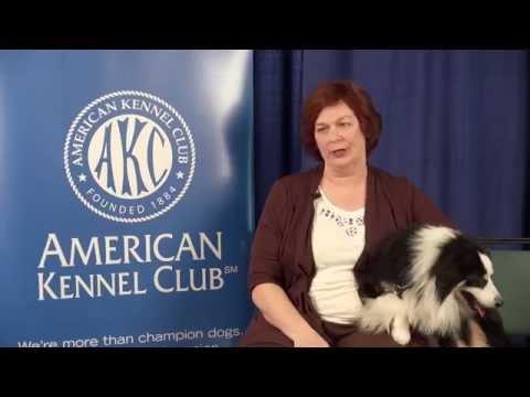Meet the Miniature American Shepherd