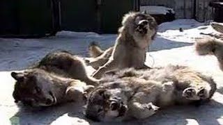 Петля на волка.Охота +на волка видео.Loop volka.Ohota + Video wolf.