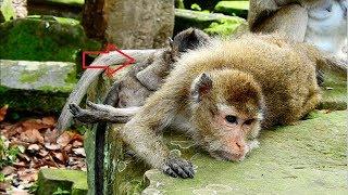 Download Video Poor Amari no power to feed milk to her baby Lori, Amari feel sad because of no milk for Lori MP3 3GP MP4