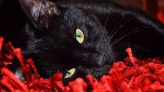 Зверек. Приколы про животных. Черная кошка
