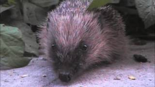 Western Hedgehog Erinaceus europaeus feeding on fat ball scraps