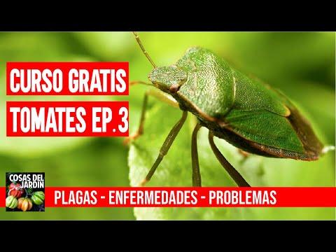 CURSO GRATUITO TOMATES EP. 3 - PLAGAS Y ENFERMEDADES DEL TOMATE #CURSOTOMATESCDJ