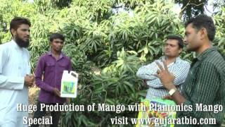 Highest Mango Production | Organic fertilizer | Plantonics Mango Special