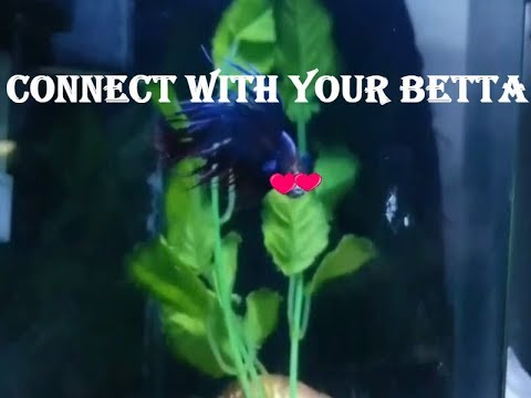 HOW TO BOND WITH YOUR BETTA FISH  2017