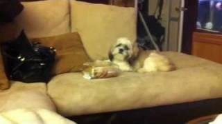 Shih Tzu Puppy Stealing Cookies