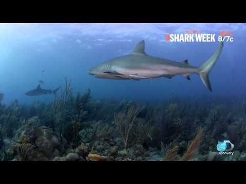 """Discovery Channel clip from """"Tiburones: The Sharks of Cuba"""""""