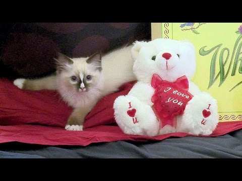 Ragdoll Kitten Valentines Day Surprise! - PoathTV Funny Cat Videos