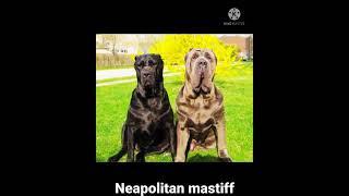 Neapolitan mastiff dog breed // WhatsApp status.