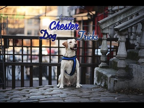 Labrador Chester  dog tricks