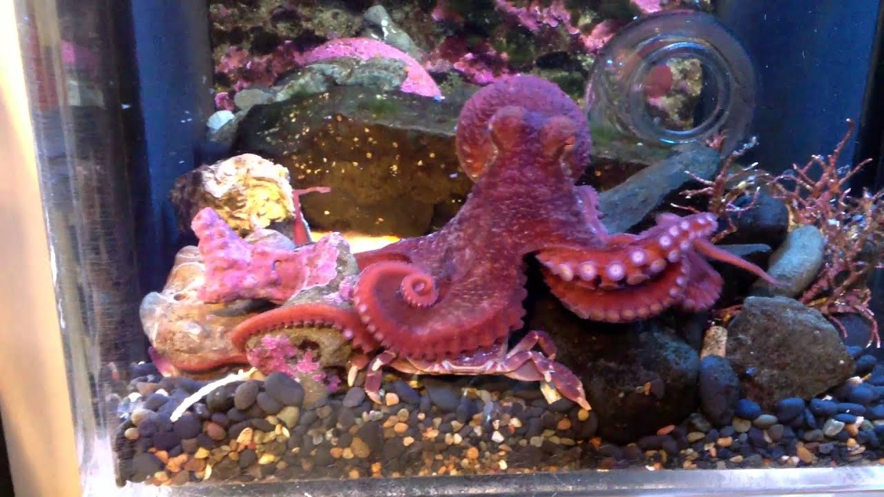 Juvenile Giant Pacific Octopus feeding on a Purple Shore ... - photo#11