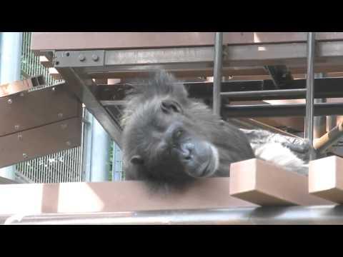 Chimpanzee (Fukuoka-shi Zoo, Japan)