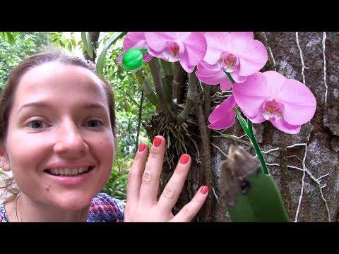 ОРХИДЕЯ, как растет орхидея, Таиланд. Цветущая орхидея. Цветы Таиланда, туризм Пхукет