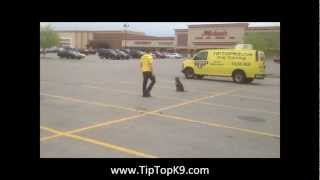 Blue Nose Pit Bull Dog Training - Tip Top K9