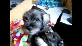 Miniature Schnauzer Puppies 8 Weeks