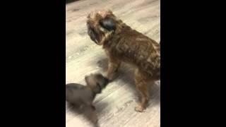 Щенки гриффона / пти брабансона