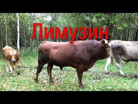 Обзор нашего молочного стада с двумя быками производителями.