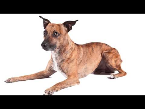 American Kennel Club adds two new dog breeds to roster