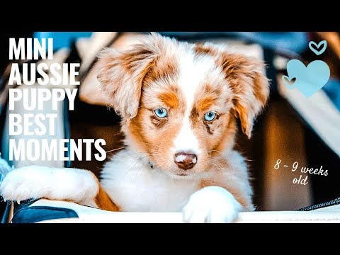 Mini Aussie Puppy best moments - first two weeks at new home