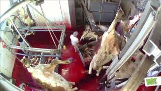 Calf Slaughter (Weizer Bergland Spezialitäten) | VGT Slaughterhouse Scandal 2015