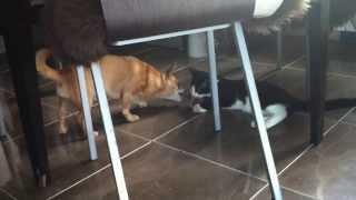 Кот ест кость собаки(С того момента, как мы взяли к нашему милому чихуахуа Леону , кота Бусика не перестаем им умиляться., 2013-12-01T06:54:52.000Z)