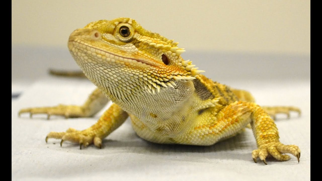 First evidence that reptiles can learn through imitation - Bearded Dragon
