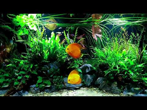 💚 1 HOUR BEAUTIFUL FRESHWATER AQUARIUM • DISCUS FISH TANK • RELAXING SOUNDS • SCHOOLING FISH 💚