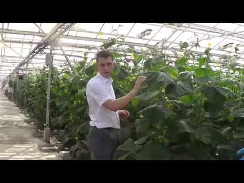 видео: moshkin.club Биометод защищает прибыль владельца теплицы.