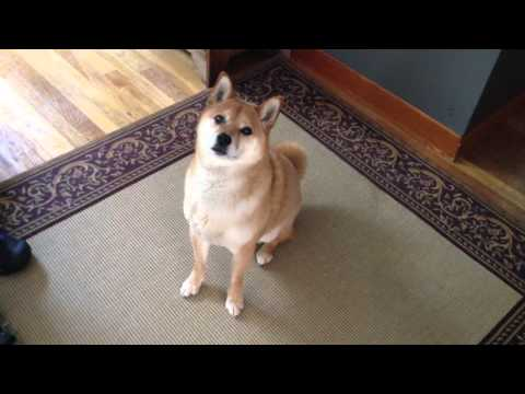 Shiba Inu tells owner 'let's go for a walk!'