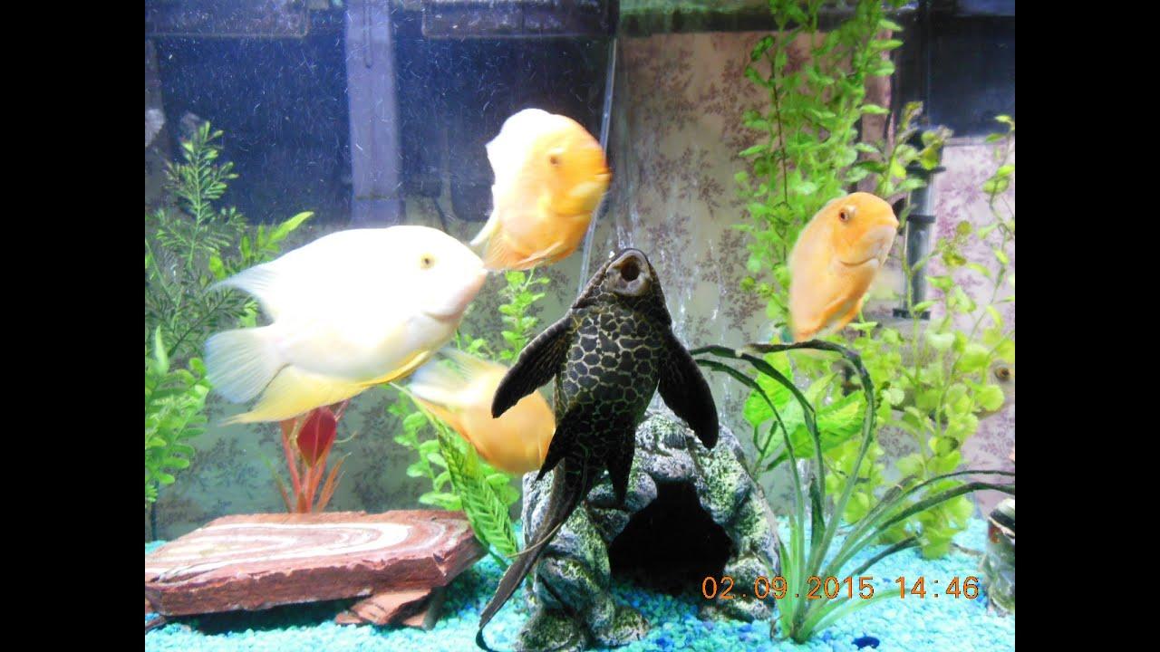 Freshwater aquarium fish loach - Update Severum Clown Loach Pleco Community Freshwater Fish Tank