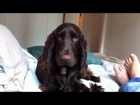 Bonjour our Field Spaniel Dog