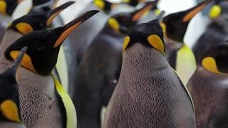 ShamuTV: Penguins – The Mating Game