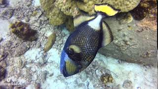 Trigger fish at Koh Tao with Koh Tao Scuba Club