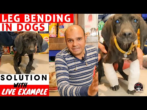 Leg Bending In Dog With Live Solution (Rickets Problem In Indian Pointer Dog Breed) Baadal Bhandaari