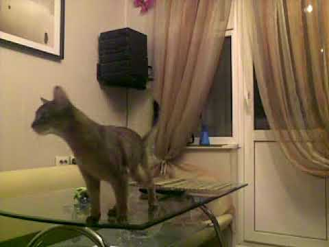 Steven&Jessica, Abyssinian cats #001