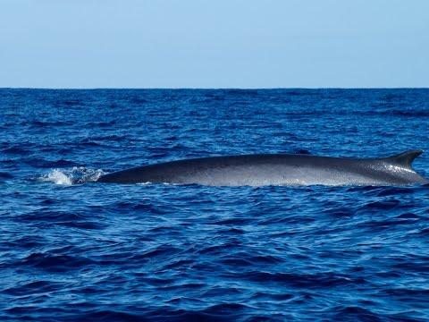Azores: Eight species of cetaceans