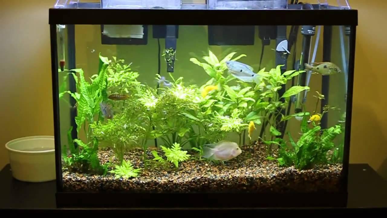 Cichlid Aqurium 20 Gallon Fish tank   YouTube
