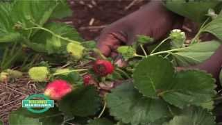 Money Making: Strawberries grown in bags in Kenya